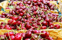پیش بینی برداشت افزون بر ۱۵۰۰۰ تُن آلبالو از ۱۶۵۰ هکتار باغات زیر کشت این محصول در آذربایجان غربی